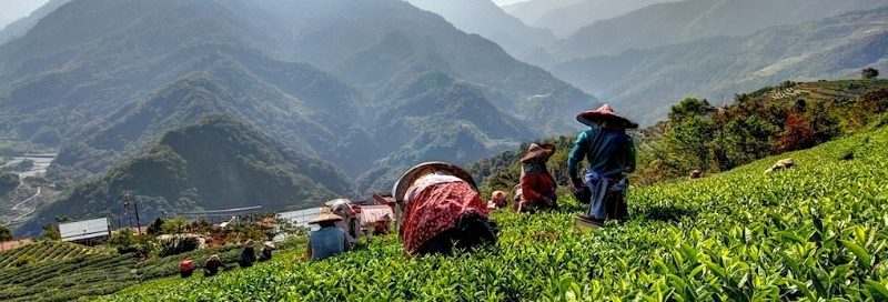 Beautiful Tea Harvest in Taiwan
