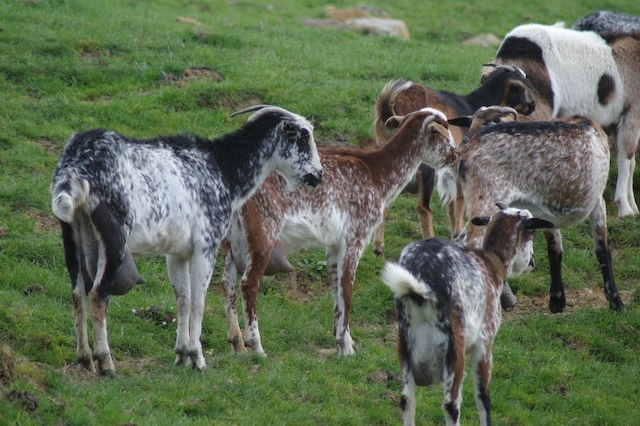 Payoya Goats