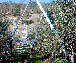 Handpicking olives at Rock Hill Ranch